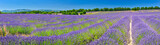 Lavender field in summer countryside - 184223878