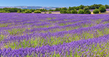 Lavender field in summer countryside - 184224282