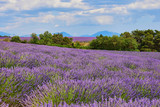 Landscape of Provence with lavender - 184231097