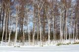 冬のシラカバ林 - 184235633