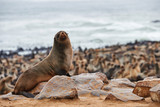 Colony of fur seals in Namibia - 184235883