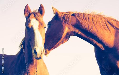 Plexiglas Paarden Two brown horses, pink background