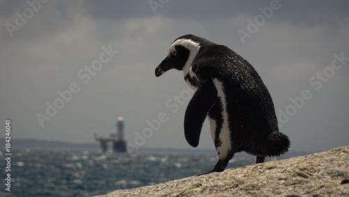 Plexiglas Pinguin Penguin Boulders Beach, South Afriica