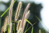 Tall grass in nature - 184250815