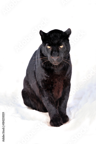 In de dag Panter Leopard portrait