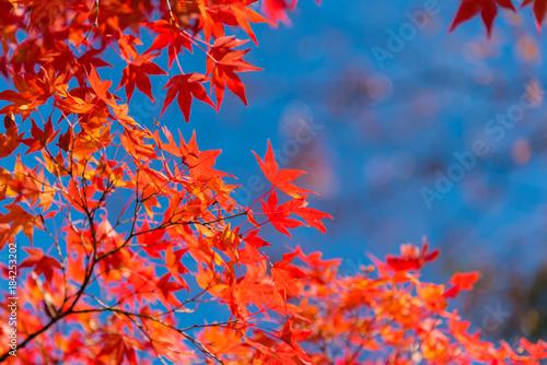 Maple leaves, Japan autumn season - 184253202