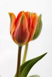 Fototapeta Tulips - kolorowe tulipany © qrrr