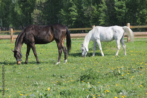 Plexiglas Paarden Cinnamon and white horses grazing in a meadow