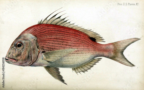 Red porgy - 184256058