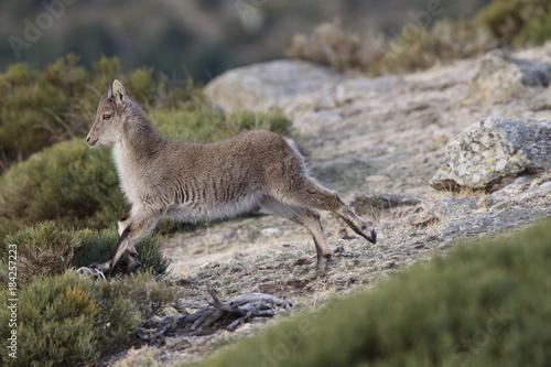 Aluminium Kangoeroe iberian wild goat