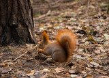 Squirrel in the forest - 184257810