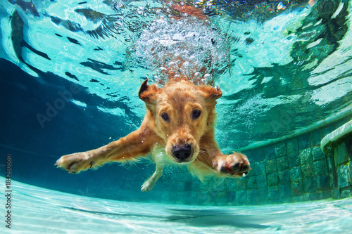 Leinwandbild Motiv Underwater funny photo of golden labrador retriever puppy in swimming pool play with fun - jumping, diving deep down. Actions, training games with family pets and popular dog breeds on summer vacation