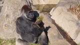Large gorilla sitting and eating grass - 184262659
