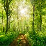 Fototapeta Las - Wanderweg durch grünen Wald im Frühling, Sonne strahlt durchs frische Laub © AVTG