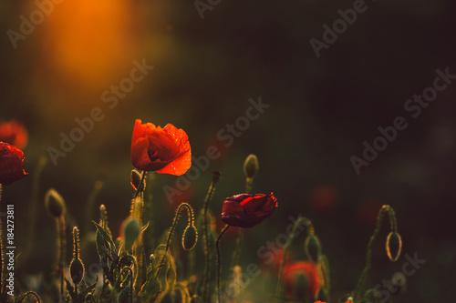 Poppy in sunset Poster