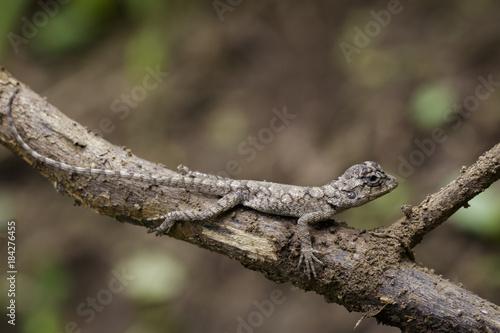 Plexiglas Kameleon Image of chameleon on a brown branch . Reptile