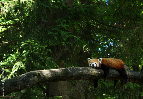 Plexiglas Panda red panda in a tree