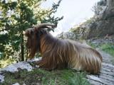 Goat on a path near Kotor, Montenegro - 184283827
