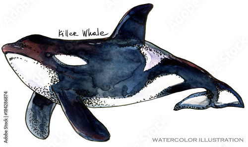 Fototapeta Killer Whale watercolor illustration