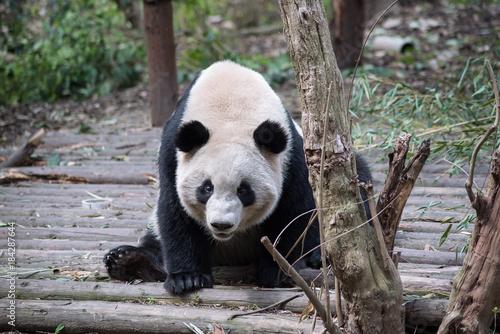 Plexiglas Panda a giant panda is looking at you