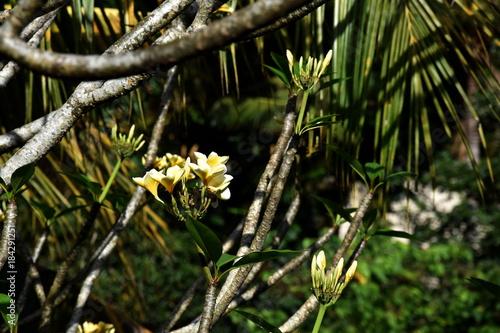 Plexiglas Plumeria Frangipanibaum weiß-gelbe Blüten
