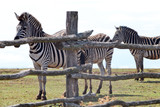 Zebras Behind a Fence in the Zoo. - 184301401