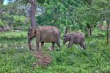Mutter und Baby, Indische Elefanten laufen durch den Jungle im Nationalpark Yala auf der tropischen Insel Sri Lanka im Indischen Ozean bei einer Jeep Safari Tour - 184314025