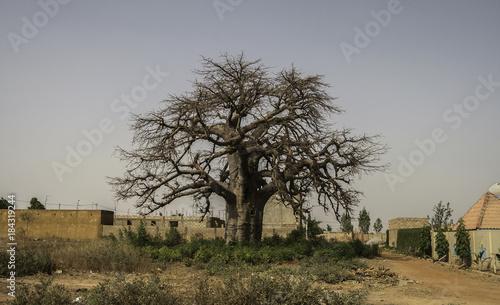 In de dag Baobab Baobab tree (Adansonia digitata) in urban area (Burkina Faso)