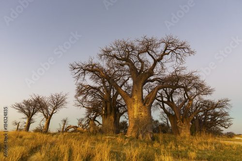 Foto op Canvas Baobab Golden sunset light on the baobab's