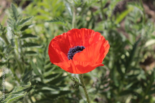 Staande foto Klaprozen Beautiful red poppy