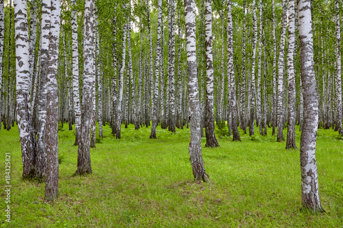 Plexiglas Berkenbos Beautiful scenery with white birches. Birches in bright sunlight. Birch grove in the summer. Birch trunks with white bark. Tops of birch against the sky. Sunny highlight.