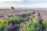Blooming lavender fields in Little Poland - 184334234