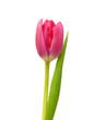 Purple tulips isolated on a pure white background  - 184352087
