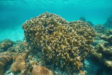 Reef with blade fire coral Millepora complanata underwater in the Caribbean sea - 184354834