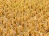 rice stubble in chiangmai Thailand