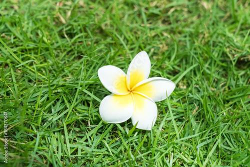 Plexiglas Plumeria plumeria flower