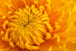Quadro Yellow chrysanthemum flower head