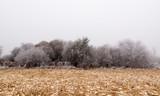 Campo de maíz cosechado y bosque de sauces con escarcha y niebla en invierno.