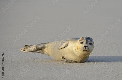Plexiglas Noordzee Seehund, Sandbank, Nordsee, äugen, niedlich, Fell, Natur, Wildtier