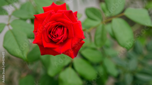 Foto op Canvas Klaprozen Beautiful red rose growing in the garden, rose for Saint Valentine Day celebration.Floral background.