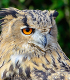Color outdoor wildlife animal portrait of a single isolated owl on natural background, symbolic figurative wise wisdom knowledge know how intelligent idea brilliant outstanding brain knowing