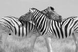 Schwarz weiss S/W zwei Zebras symmetrisch angeordnet beim gegenseitigem sozialen Putzen.Where: Etosha-Nationalpark, Namibia.