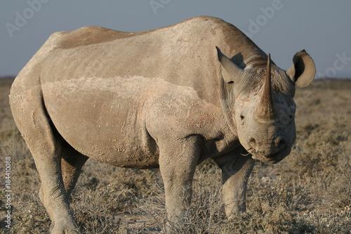 Fotobehang Neushoorn Porträt eines Spitzmaul-Nashorns schräg von vorn .Where: bei Okaukuejo Camp, Etosha-Nationalpark,