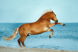 haflinger horse rearing up in the sea - 184410230