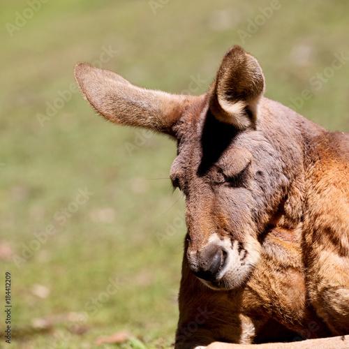 Aluminium Kangoeroe natuarl park close up of the kangaroo near bush