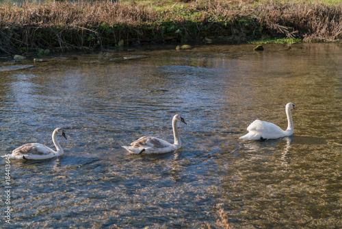 Plexiglas Zwaan swans on the lake