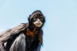 Black-Headed Spider Monkey (Ateles Fusciceps) - 184415030