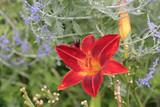 Feuerlilie, einzelne Blume, Lilium bulbiferum