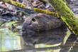 one nutria coypu (myocastor coypus) swimming in water covert