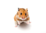 Cute funny Syrian hamster in a funny pose (isolated on white), selective focus on the hamster eyes